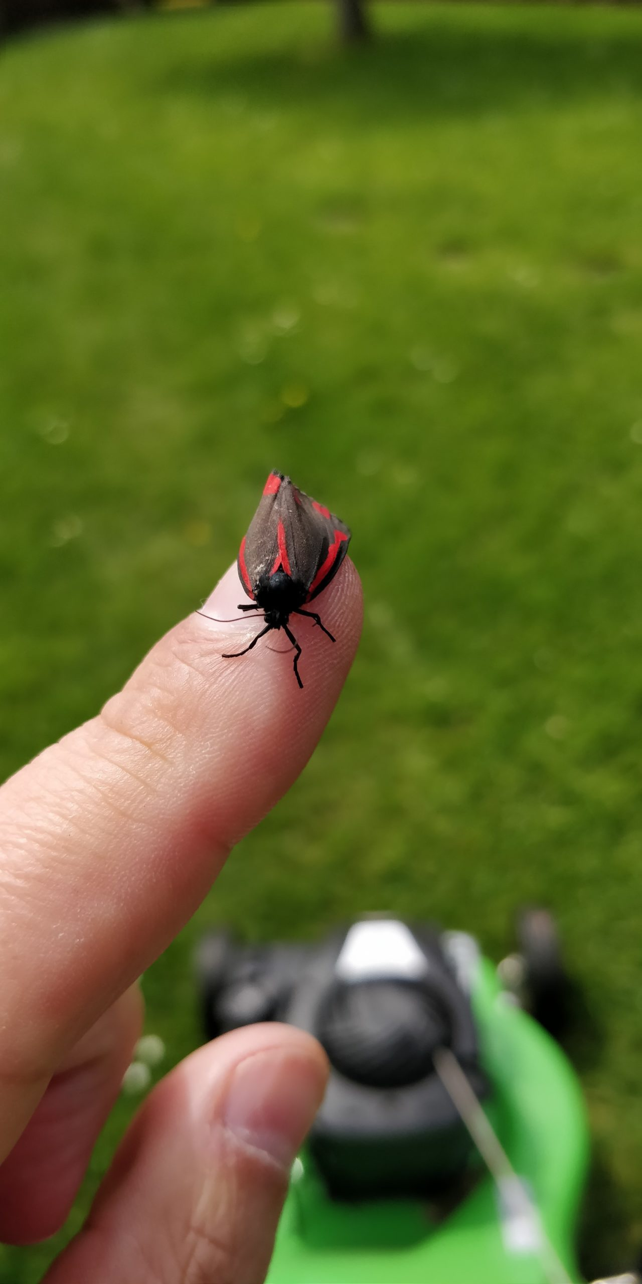 Red and black moth on my finger